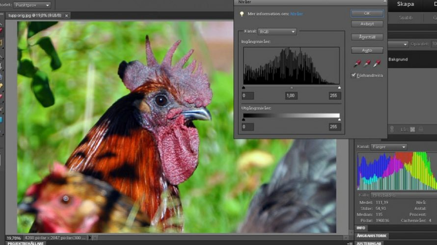 billeder af store sorte hane